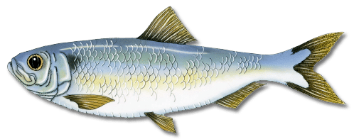 Alewife Fish | Alewife Registered Maine Guides