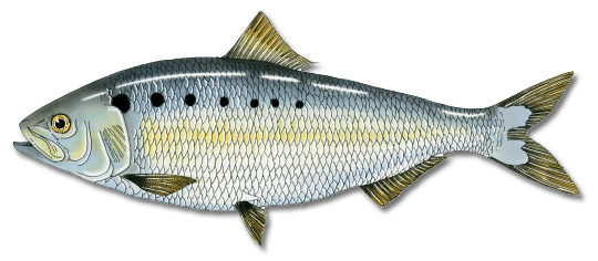 American Shad Registered Maine Guides