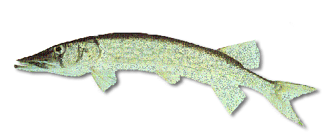 Fishing for chain pickerel in maine maine guides online for Maine freshwater fish