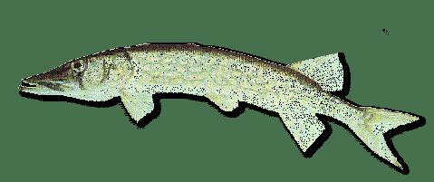 Chain Pickerel