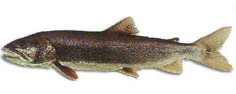 Fishing for lake trout in maine maine guides online for Maine freshwater fish