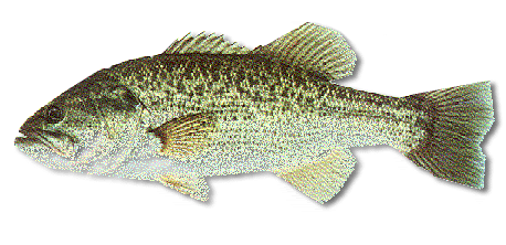 Fishing for largemouth bass in maine maine guides online for Maine freshwater fish